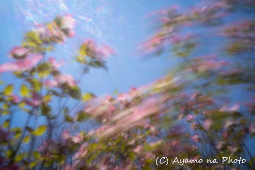 200426-ハナミズキ.jpg